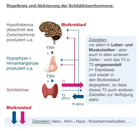 RegelkreisGrafik zur Erklärung des Regelkreis der Schilddrüsenhromonsteueurng