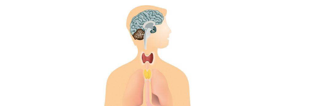 Grafik zur Lage der Schilddrüse am Hals