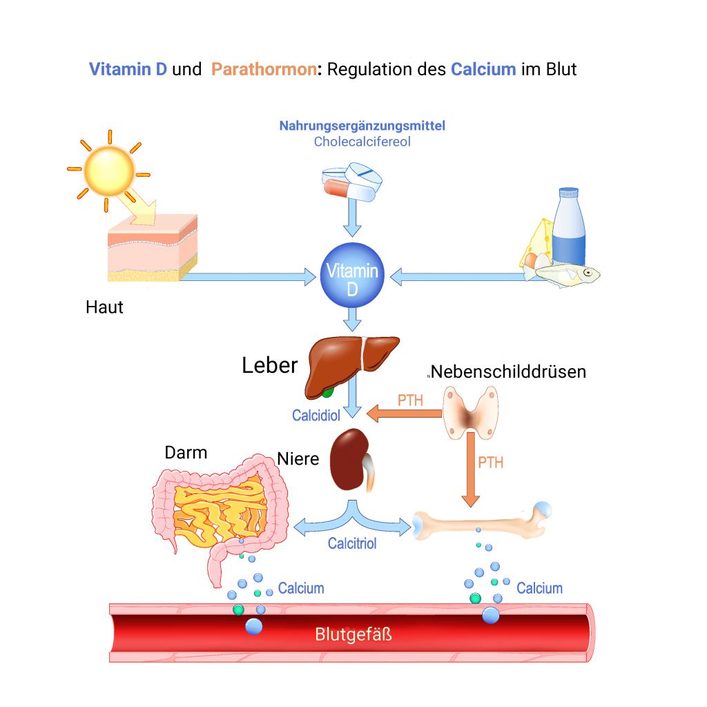 Grafik zur Veranschaulichung der Vitamin D Synthese über Haut, Leber und Niere, sowie die Rolle des Parathormons dabei